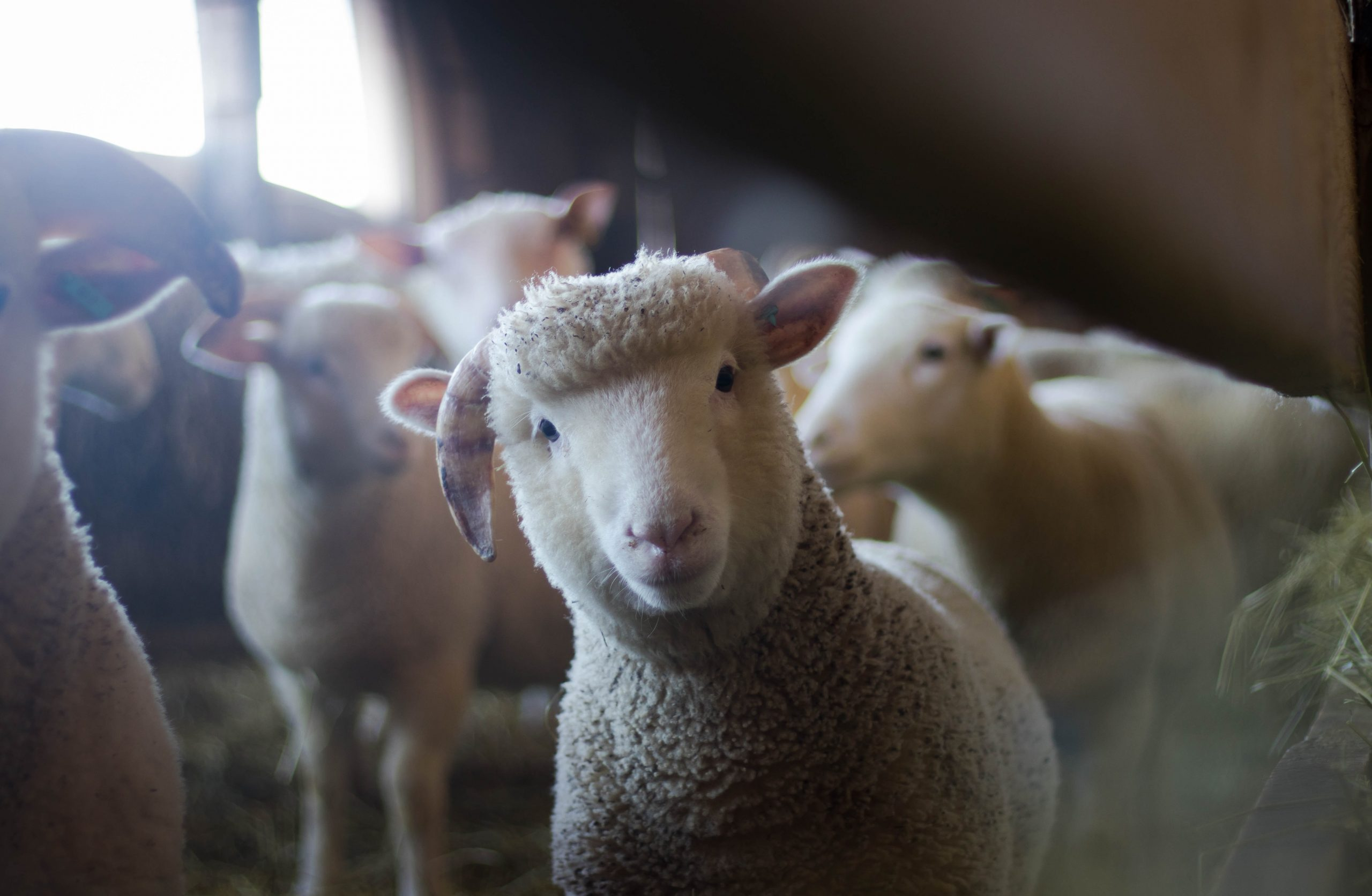 Why It Matters to Know About Sheep